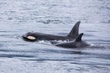 Orcas (Kanada)