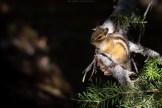 Streifenhörnchen (Kanada)