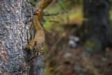 Grauhörnchen, Alaska