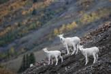 Dall Sheep Family