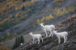 Dall Sheep Family