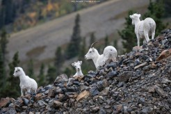 Schafmutter mit Nachwuchs