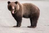 Müder Jungbär (Alaska)
