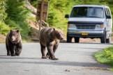 Caution, bears crossing