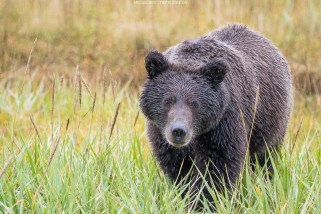 Bär auf Tuchfühlung (Alaska)