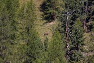 Hirsch auf einer Waldlichtung am Gegenhang