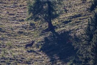 Der röhrende Hirsch und - beim genauen Hinsehen - die beiden Kühe im Schatten vor ihm