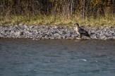 Dem Adlerauge entgeht der wenige Meter vor ihm zappelnde Lachs nicht