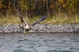 Nach dem Essen fliegt der Adler weiter