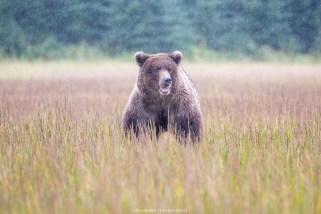 Bär im Lake Clark Nationalpark
