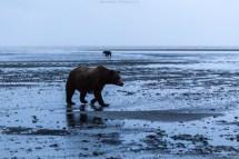 Bären in der blauen Stunde