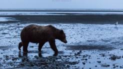 Ein Bär früh morgens am Strand