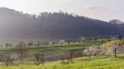Kirschblüte im Baselbiet
