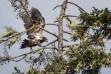 Weisskopfseeadler (Jungtier), Kanada