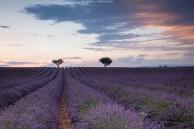Provence während der Lavendelblüte
