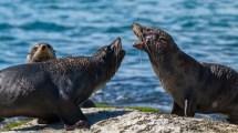Zwei junge Seebären-Bullen beim verbalen Kräftemessen