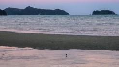 Ein einsamer Austernfischer geniesst den Strand für sich allein