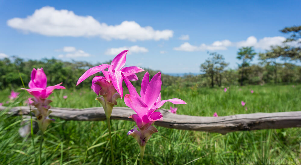 Siam Tulips at Sai Thong National Park in Chaiyaphum, Thailand