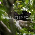COMO SOBREVIVEN LOS JAGUARES DEL AMAZONAS