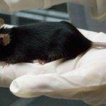SUIZA | Investigadores descubrieron que las ratas son capaces de memorizar actos de amabilidad de sus congéneres