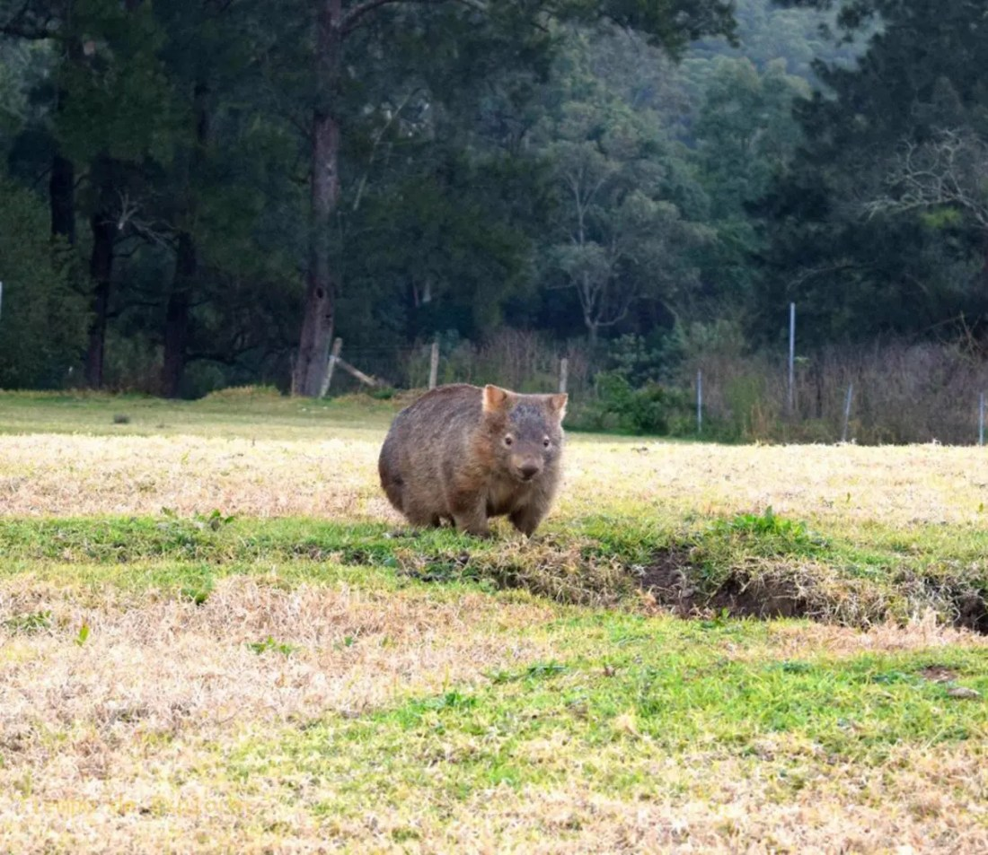 Wombat en Bendeela Recreation Area, Kangaroo Valley, NSW, Australia