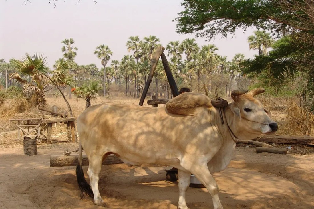 vaca-myanmar-guiadeviajes
