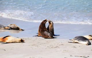 Leones Marinos Kangaroo Island, Australia