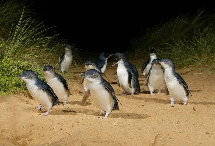 Pingüinos Phillip Island