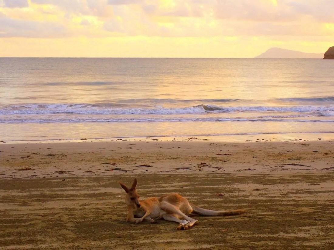 Canguro. Blog de viajes Australia