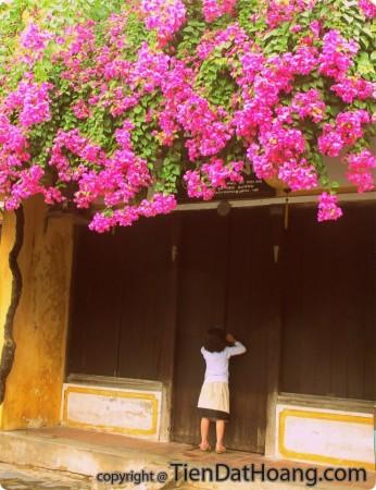 Mái ngói, tường vôi, dàn hoa giấy của nhà ở Hội An. Photo: Hà Ngân