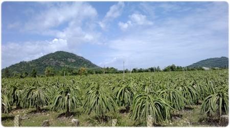 Đặc sản trái thanh long của Bình Thuận. Đâu đâu cũng thấy trái thanh long.