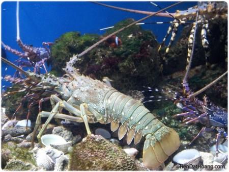 Nhìn thấy con tôm này trong Viện Hải dương học mà muốn… ăn quá.
