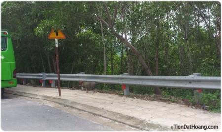 Heo rừng ở giữa Thành phố Nha Trang.