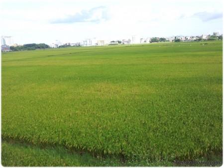 Đồng ruộng ở ngay trong thành phố Tuy Hòa.