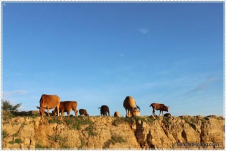 Đàn bò dưới làn nắng mới ở Đỉnh Thới Lới.