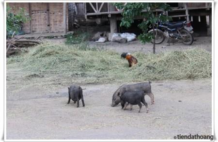 Heo nuôi ngoài đường ở các buôn xung quanh hồ Lăk.