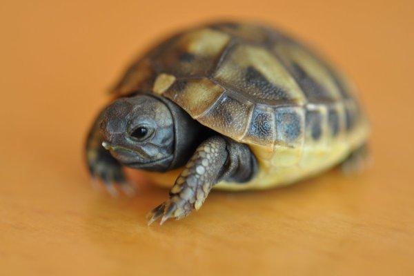 Schildkröten – Testudinata