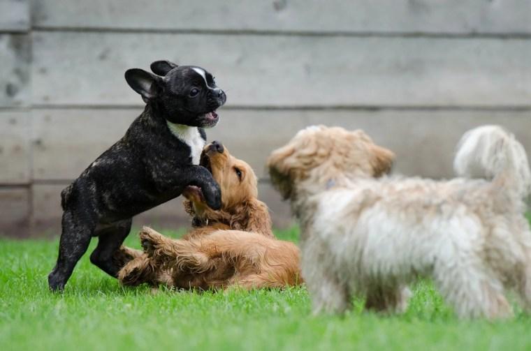 Hunde niesen beim Spielen
