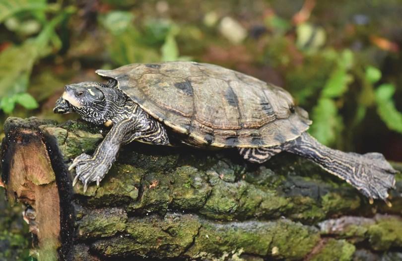 Junge Schildkröten haben glatte Schilder und wenig Wachstumsringe.