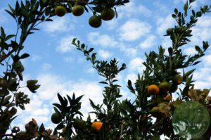 heisse-Granate-Mandarinen