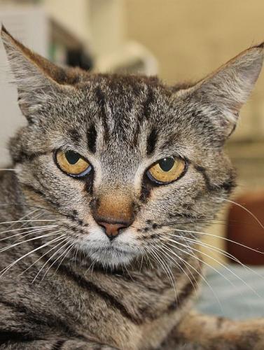 Dreibeiniges Tigermädchen hat Schlimmes erlebt. Darf sie bei Ihnen ein neues Leben beginnen ?