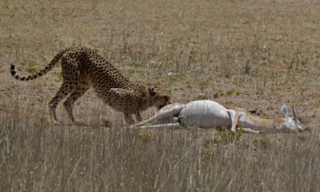 Gepard hat ein großes Beutetier erlegt.