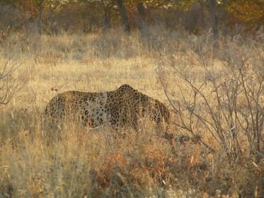 Leopard auf der Suche nach Beute