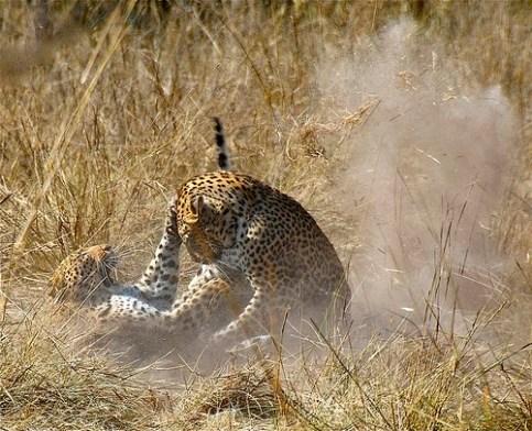 Paarungszeit Leoparden in der Wildnis