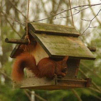 Auch Eichhörnchen kommen zum Fressen im Winter an Futterhäuschen.
