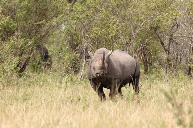 Das Spitzmaulnashorn in freier Wildbahn (Massai Mara)