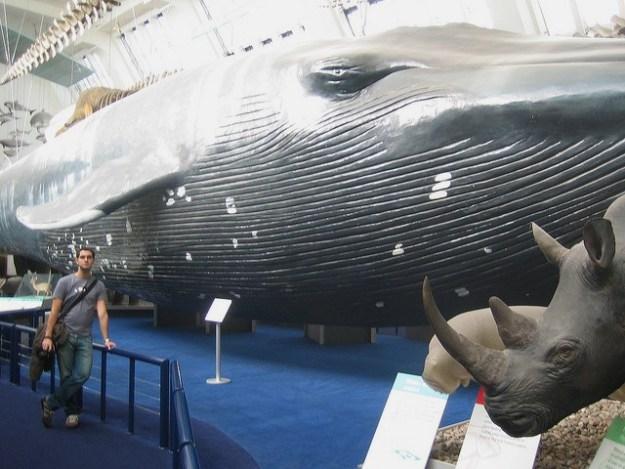 Der Blauwal ein Gigant, der das größte Säugetier der Welt ist.