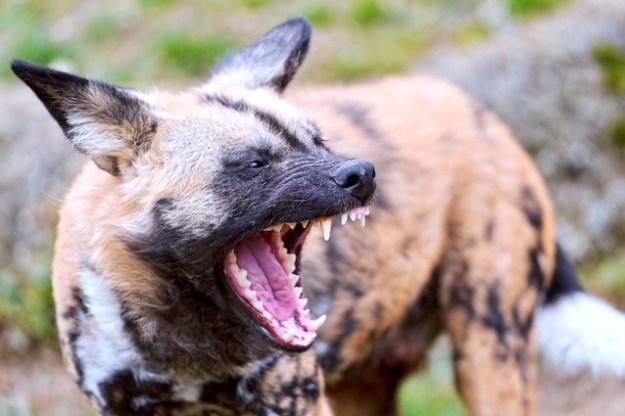 Ein Wildhund mit seinem starken Gebiss