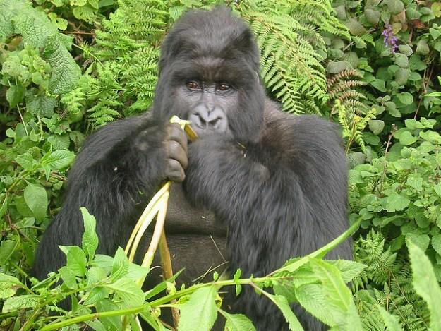 Gorillas sind takaktiv und verbringen viel Zeit am Tag mit dem Fressen