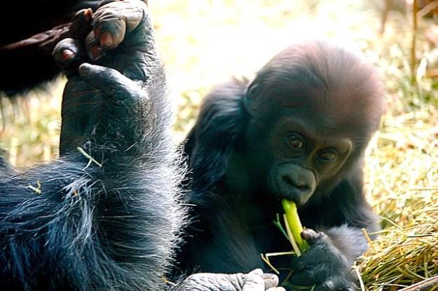 Grorilla-Baby probiert Pflanzenkost